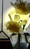 Morning Light Daffodils
