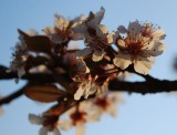Plum Blossoms At Sunset