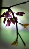 Redbud In Window