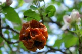 Rotten Apple Amongst Blossoms
