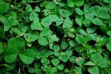 3 Leaf Clovers Only