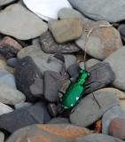 Green Water Beetle