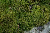 Cushion Of Moss