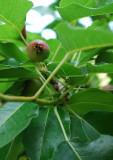 A Singular Pear