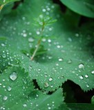 Lady's Mantle Rain Beads