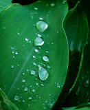 Rain Drops On Lily Of The Valley