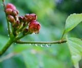 Trumpet Vine Buds, Clinging Raindrops