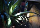 The Aloe Plant, Nude