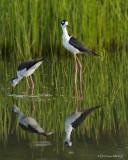 Limicoles / Shorebirds
