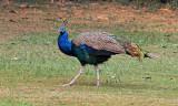 Peacock - 53 012
