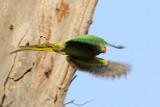 Rose-ringed Parakeet - 54 033