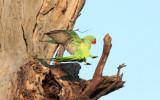 Rose-ringed Parakeet - 54 075