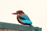 White-throated Kingfisher - 55 002