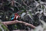 White-throated Kingfisher - 55 008