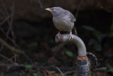 Jungle Babbler - 57 091