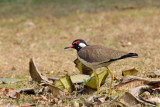 Red-wattled Lapwing - 60 053