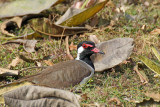 Red-wattled Lapwing - 60 062