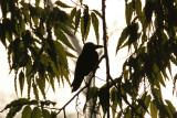 House Crow - 61 001