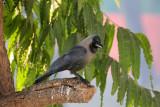 House Crow - 61 005