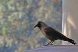House Crow - 61 009