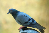 Rock Pigeon - 61 019