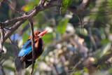 White-throated Kingfisher - 62 110