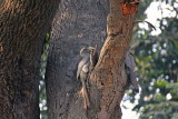 Indian Grey Hornbills - 63 051