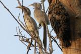 Indian Grey Hornbills - 65 008