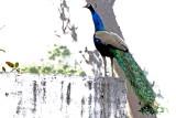 Peacock - 65 040