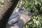 Indian Grey Hornbill - 65 067