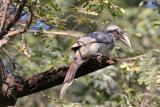 Indian Grey Hornbill - 65 078