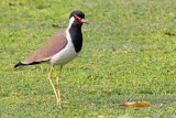 Red-wattled Lapwing - 66 045