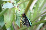 IMG_7780  cairns birdwing male