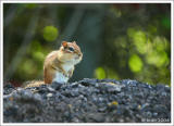 June 10, 2006 - Chipmunk