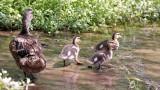 Ducks-0523