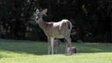 Deer-0453