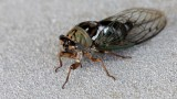 Cicadidae-1233