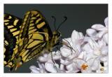 Una mariposa en el lilo