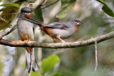 Rufous-throated Solitaire