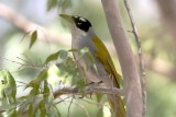 Black-crowned Palm-Tanager