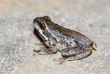 Ewing's Tree Frog