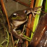 Tasmanian Tree Frog