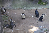African Black Footed Penguins
