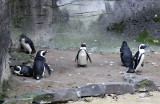 African Black Footed Penguins 2