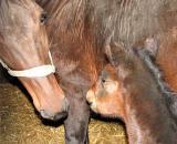 Hanover Horses