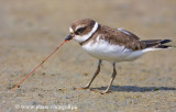 Semi-Palmated Plover and dinner