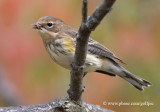 Yellow-Rumped Warbler with insect meal