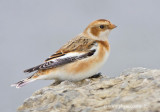 Snow Bunting (basic plumage)