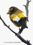 Evening Grosbeak (adult male)