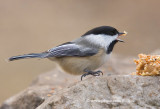 Chickadees love peanut butter treat